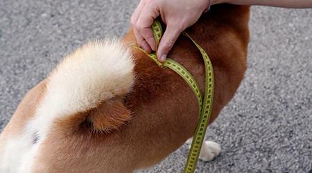 Anteprima tutorial su come prendere misure della circonferenza torace del cane