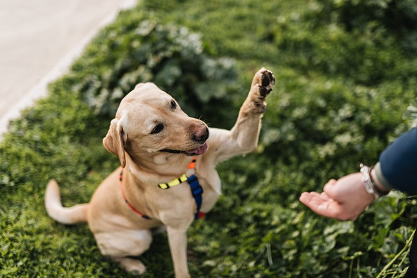 il cane da la zampa al suo proprietario